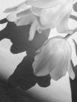 White on white, Tulips with shadows